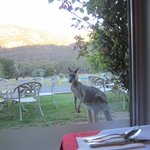 Kangaroo watching through restaurant window