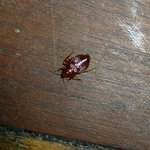 bed bug on floor
