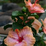 Hibiscus flower in the garden
