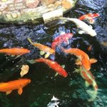 I was allowed to feed the koi