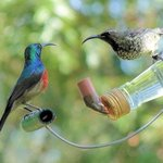 Sunbirds feeding in the garden