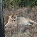 Huge lioness.