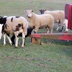 Lambing season - day old lambs