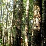 Kauri grove on the sculpture trail