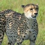 Mama cheetah again