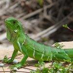 Una de las Iguanas que estan por ahi