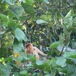 Cool probiscus monkey