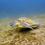 Turtle. Diving at Abu Dabab