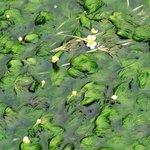 やっと見つけた三島梅花藻