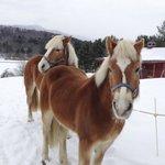 Halflinger Horses, Ule and Bella