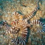 Octopus beim Tauchen