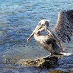 Lots of Pelicans at Francis Bay.