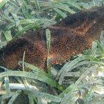 Sea Cucumber in Princess Bay