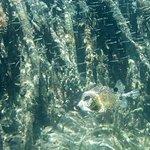 Puffer fish, Princess Bay