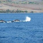 Whales off Maui shore