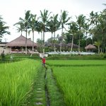 view from the Gazebo they have in the middle of the rice field