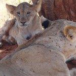una famiglia di leoni!