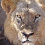 il Re della savana!
