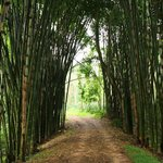 bamboo grove one one of the walking trails