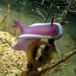 Nudibranch at house reef