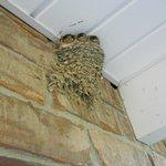 Three barn swallows- ready to soar