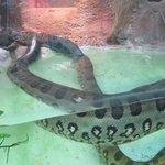 Anaconda (aka Big Snake)