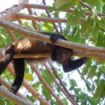 Howler monkeys are around the property and surrounding area