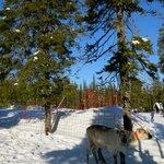 reindeer by Snowland