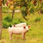 Die zwei kleinen Schweinchen...