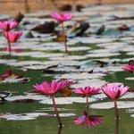 Water lilies in hotel garden