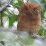 Sokoke Scops Owl in the forest