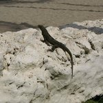 Black iguana on the beach wall