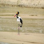 on the river from the restaurant,a Saddle-billed Stork