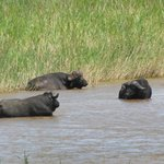 African Buffalo on the river from the room