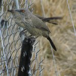 Arrow-marked Babblers on the security fence below the room