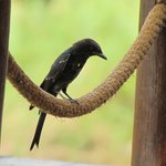 Fork-tailed Drongo at the restaurant