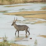 Waterbuck crossing the river near the restaurant
