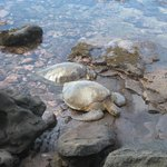 Turtles on the rocks each night - please dont harass them!