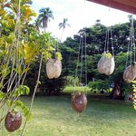 Hanging plants / Coconuts shell