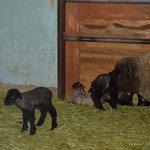 子羊とお母さん