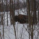 Encore un bison