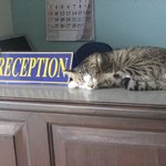 Keytag the hotel cat looking after Reception!