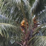 Coconut Tree within the grounds