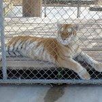 A Rare Tiger
