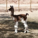 newborn llama in the corral on the premises