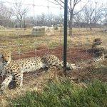 Purring cheetah sisters.