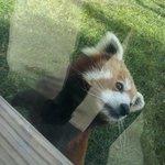 My favorite, the red panda.