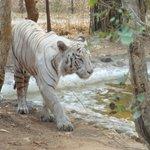 Tiger close enough