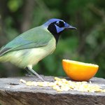 green jay at B&B feeder