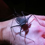 Tailless Whip Scorpion, The Night Tour